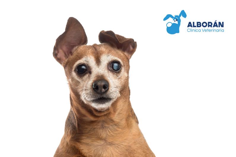 Consejos cuidar perro anciano mayor
